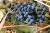 """Порошок амурского винограда """"замедлитель старения"""" для настойки"""